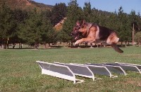 Police dog jumping over hurdles during training.