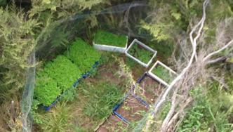 Aerial shot of cannabis plot Police sprayed in Northland