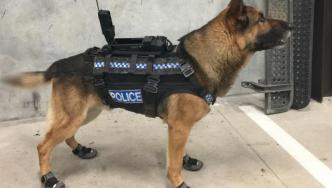 Police dog wearing protective boots and camera
