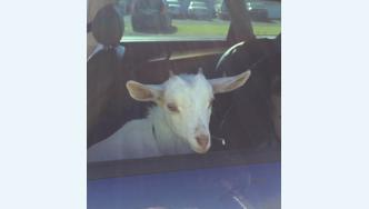 Goat in car  - road policing check point in Eastern Bay of Plenty