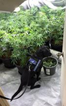 Cannabis discovered during search warrants
