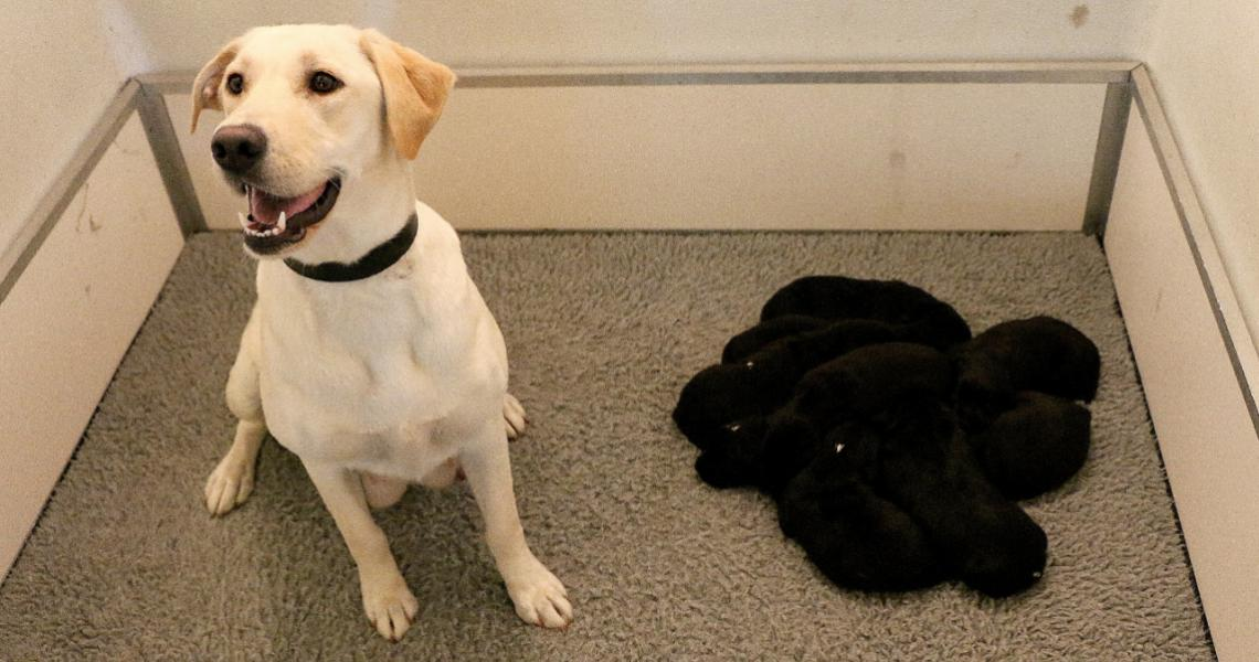 Good work Piper! The proud mum and her nine little detector dogs-to-be, at around two weeks old.