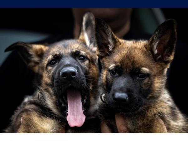 Two Police puppies