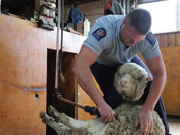 Sergeant Blair Duffy shearing a sheep