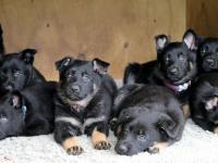 Dallas pups