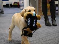 A police puppy in training with his police toy