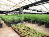 More than 4000 cannabis plants have been seized