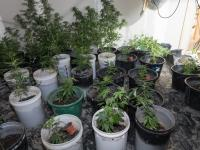 Cannabis crops located during a Manawatu search warrant today.